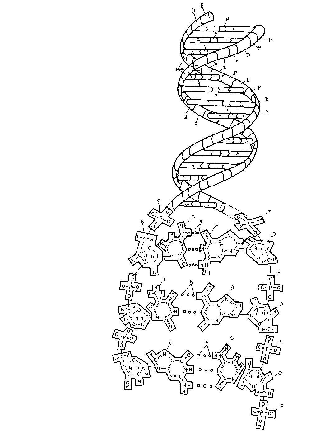 Desenho De DNA Para Colorir