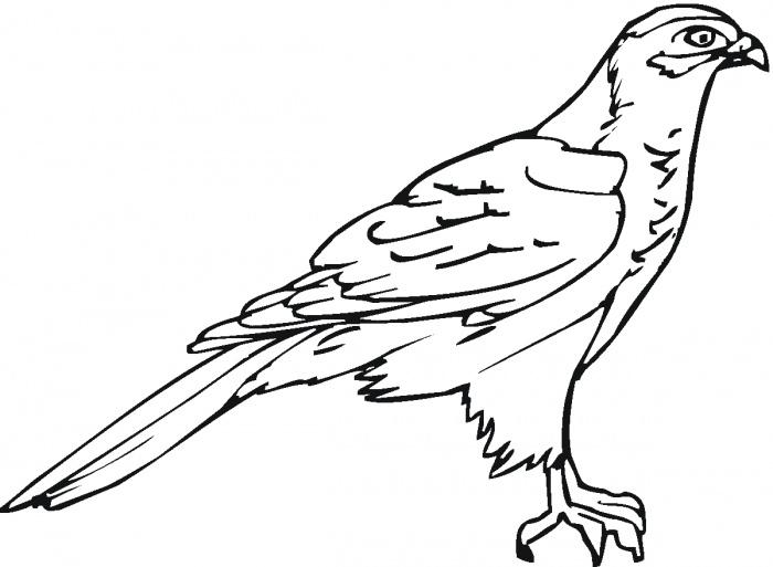 картинка сокола раскраска верь наносным современным