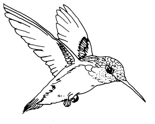 Desenho De Beija Flor Voando Para Colorir Tudodesenhos