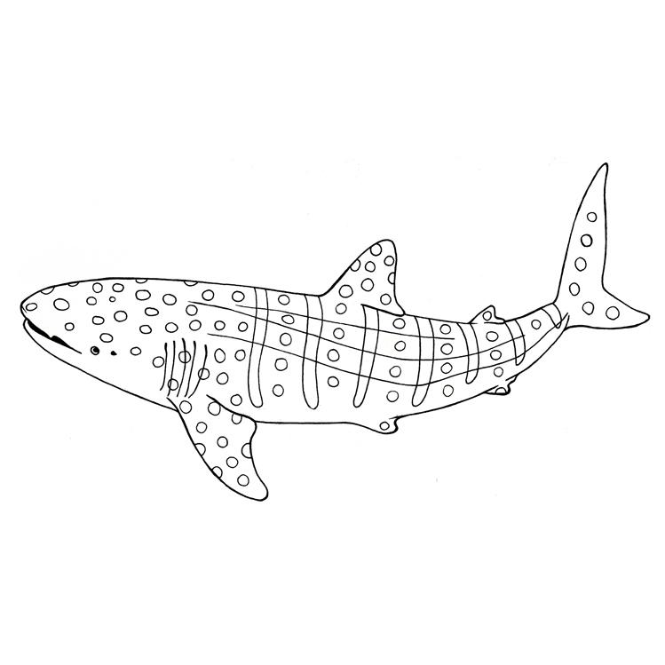 Desenho De Tubarão Baleia Bonita Para Colorir